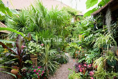 Pots of Tradescantia 'Blushing Bride', impatiens, Ensete ventricosum 'Maurelii', cordyline and bromeliads surrounded by trach...