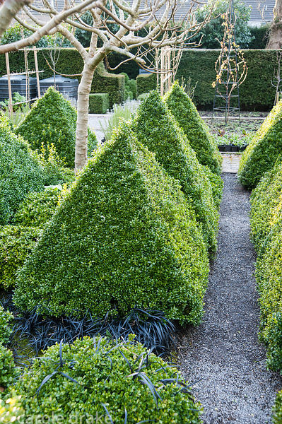 Clipped box pyramids in a formal kitchen garden surrounded by the black leaves of Ophiopogon planiscapus 'Nigrescens' and fru...