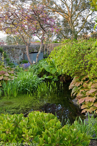 Pond in the end section of the 250' long garden is surrounded by moisture loving plants including Rheum palmatum, rodgerias, ...