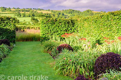 The red and lime beds planted with crocosmias, day lilies and Pittosporum tenuifolium 'Tom Thumb'[ at the Yeo Valley Organic ...
