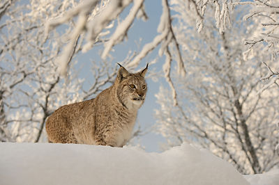 Gaupe (Lynx lynx), Langedrag naturpark / controlled environments