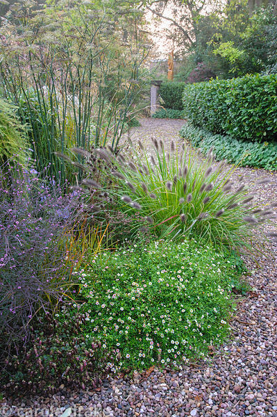 Gravel garden alongside the drive features Pennisetum alopecuroides 'Red Head', Erigeron karvinskianus, bronze fennel and Ver...