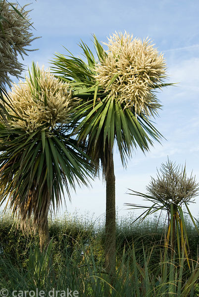 Tall cordylines in full flower. Ednovean Farm, Marazion, Cornwall, UK