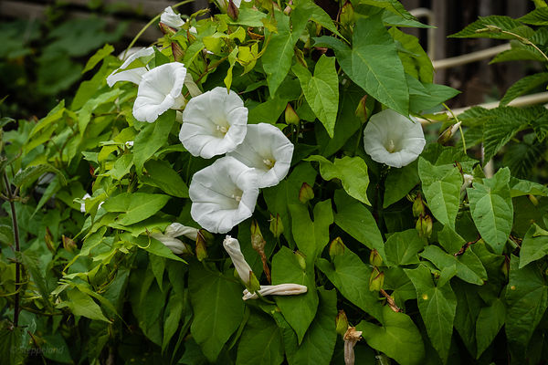 Flowering hedge bindweed