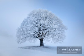Lime tree with hoar frost in winter (lat. tilia) - Europe, Germany, Bavaria, Upper Bavaria, Miesbach, Irschenberg - digital