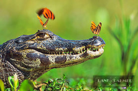 Comman caiman with salt searching butterfly (lat. caiman crocodilus) - South America, Brazil, Mato Grosso, Pantanal, Transpan...