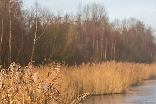 Details of sunlit reed plumes in the down left corner against a soft background of golden reed fringes and winter woodlands a...