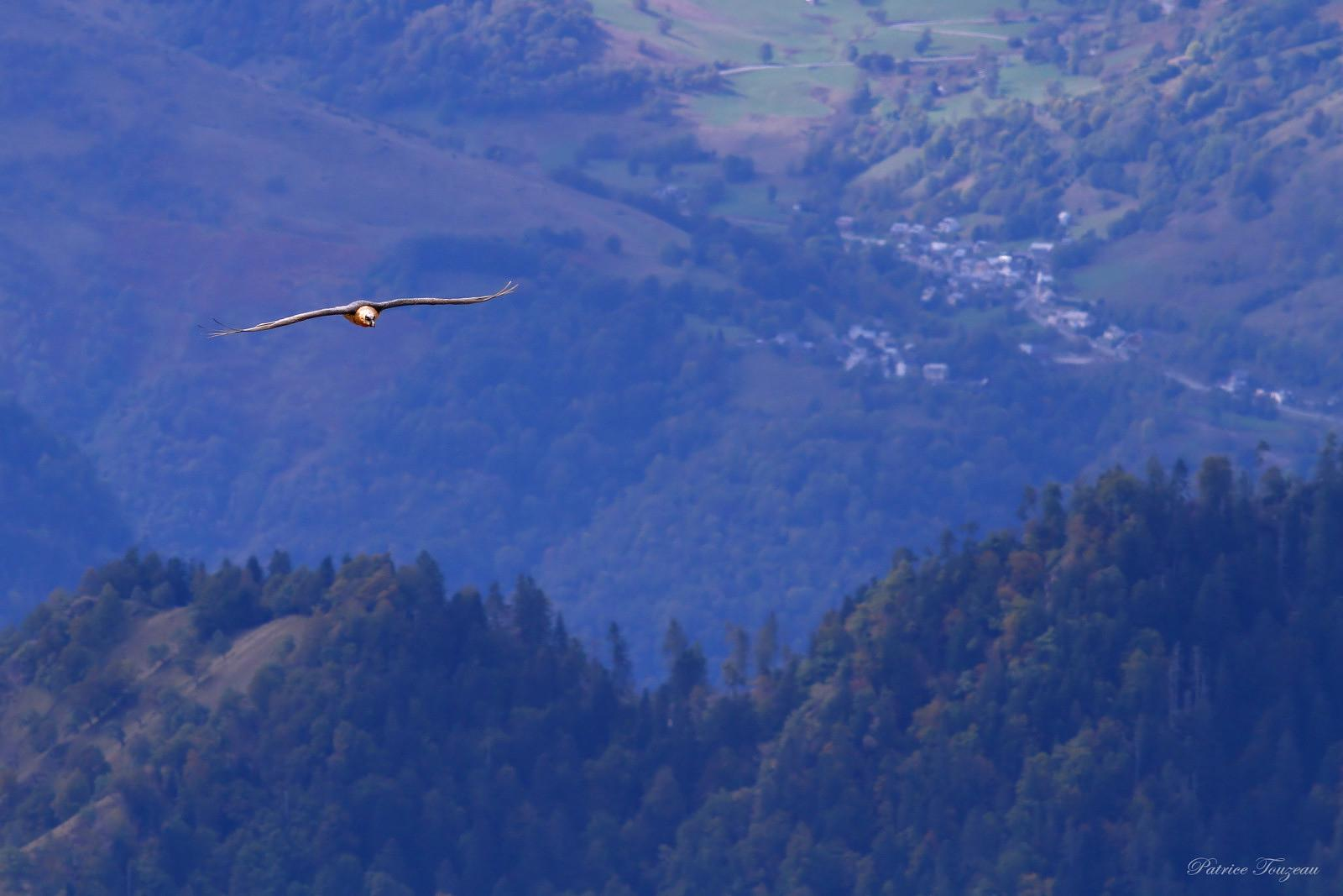pictures of bearded vulture