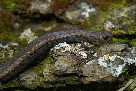 Batrachoseps species - Slender salamander species