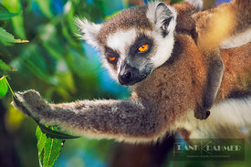 Ring-tailed lemur Mother and cub (lat. lemur catta) - Africa, Madagascar, Toliara, Anosy, Amboasary, Kaleta - scan