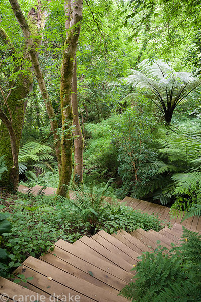 Wooden steps snake up through native woodland underplanted with lush ferns including tree ferns
