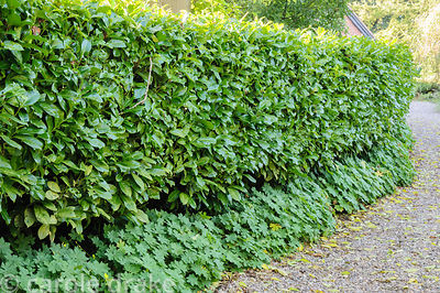 Clipped laurel hedge along a gravel drive underplanted with geraniums