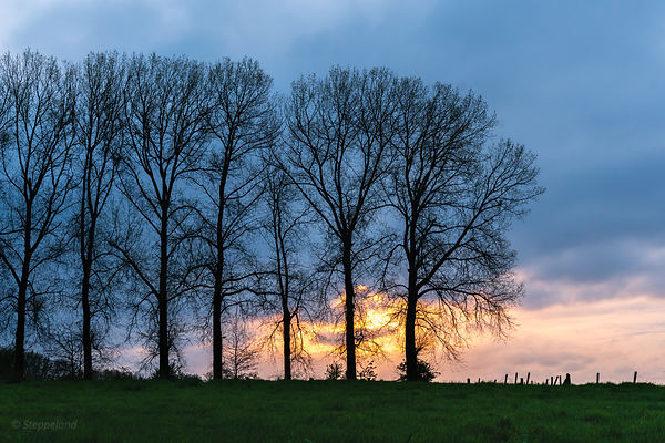 Silhouettes of a row of Canadean Poplars in the morning light.