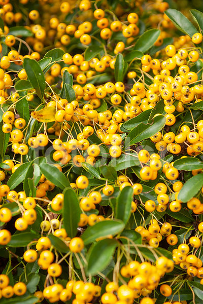Pyracantha 'Firelight', buisson-ardent, fruits, jaune