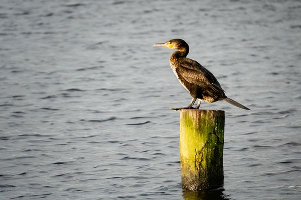 Great cormorant sitretching toes
