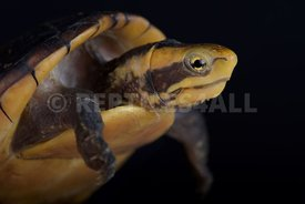 White-lipped Mud Turtle (Kinosternon leucostomum postinguinale)