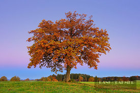 Oak in autumn colours (lat. quercus) - Europe, Germany, Bavaria, Upper Bavaria, Weilheim-Schongau, Obersöchering - digital