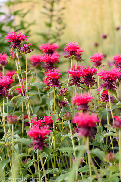 Monarda 'Hauptling'. Dove Cottage Nursery & Garden, Halifax, West Yorkshire