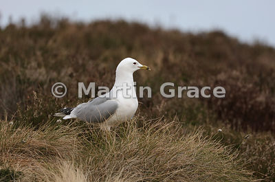Common Gull (Mew Gull) (Larus canus) on the breeding grounds at Lochindorb, Inverness-shire, Scottish Highlands