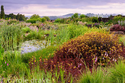 A large patch of dark leaved Lysimachia ciliata 'Firecracker' surrounded by dieramas and bulrushes near a pond in the gravel ...