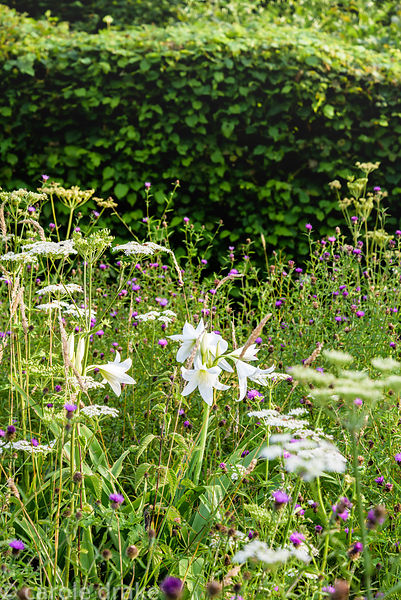 Crinum × powellii 'Album' amongst cow parsley and common knapweed in the meadow at Five Oaks Cottage in July