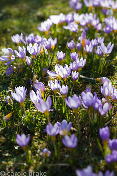 Naturalized Crocus tommasinianus with snowdrops in grass.