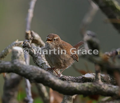 Eurasian (Winter) Wren (Troglodytes troglodytes) singing from his perch in cut-back Ivy (Hedera helix), Lake District Nationa...
