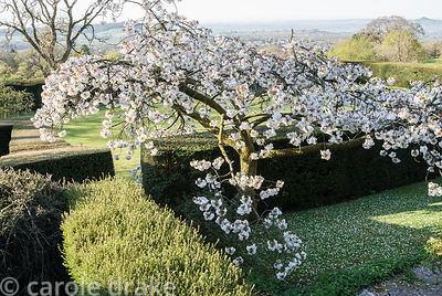 Spreading form of Prunus 'Taihaku', the great white cherry, on the sundial terrace. Milton Lodge, Wells, Somerset, UK