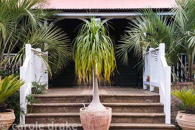 Bulbous trunked Beaucarnea recurvata at centre of steps up to Colonial Tea House flanked by containers of Cycas revoluta and ...