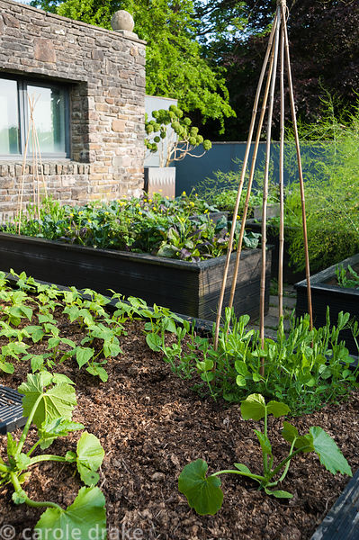 Raised beds planted with courgettes, french beans and sweetpeas. Tony Ridler's garden, Swansea, Wales, UK