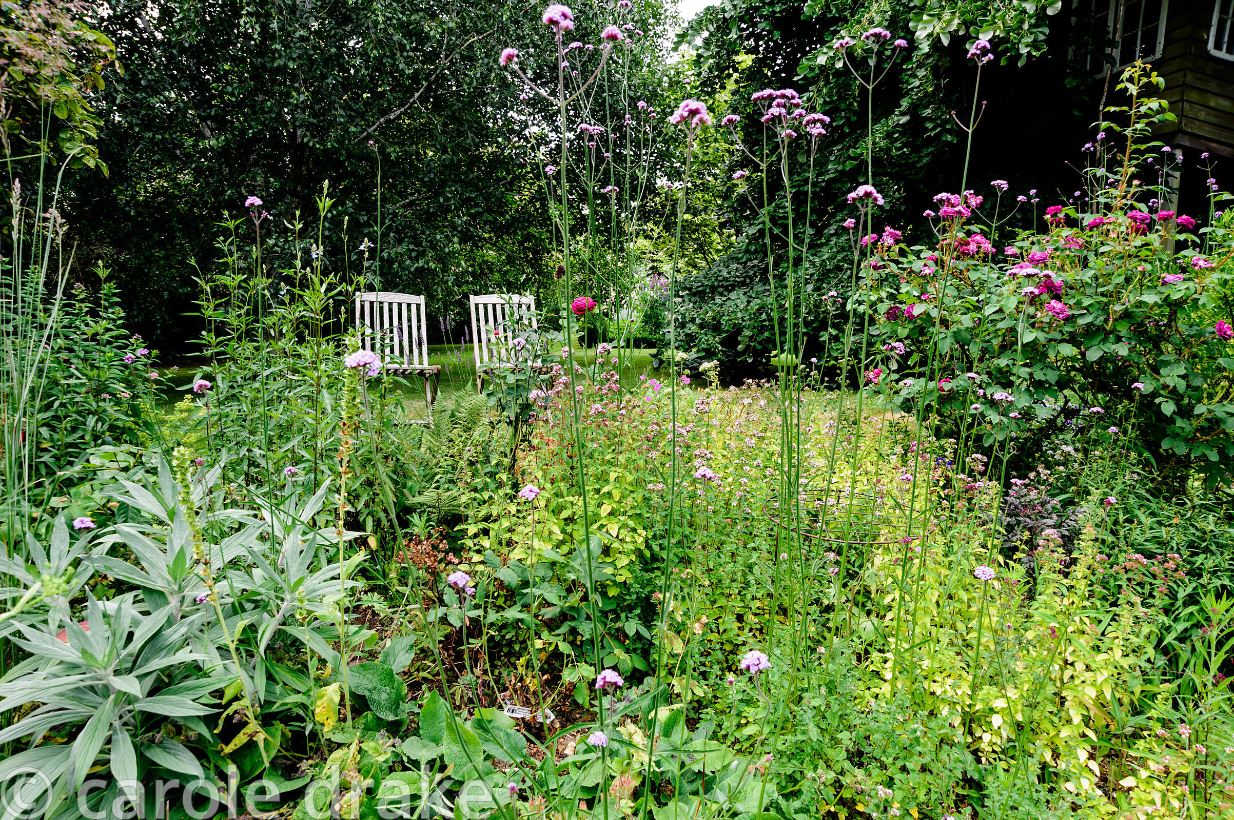 A pair of wooden seats behind a border full of marjoram, Verbena bonariensis, lavender and roses.