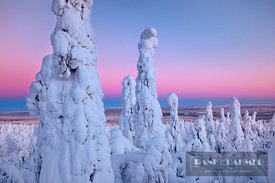 Boreal forest with snow covered spruces in winter - Europe, Finland, Northern Ostrobothnia, Ruka, Valtavaara (Lapland) - digital