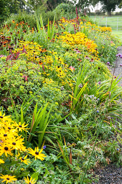Herbaceous borders planted with predominantly hot colours, including rudbeckias, heleniums and crocosmias. Rhodds Farm, Kingt...