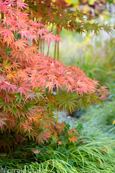 Acer palmatum in October