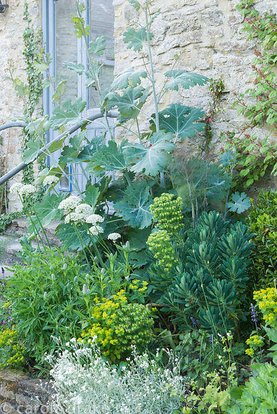 Tall macleaya surrounded by euphorbia, Trifolium rubens and white Allium nigrum. Private garden, Dorset, UK
