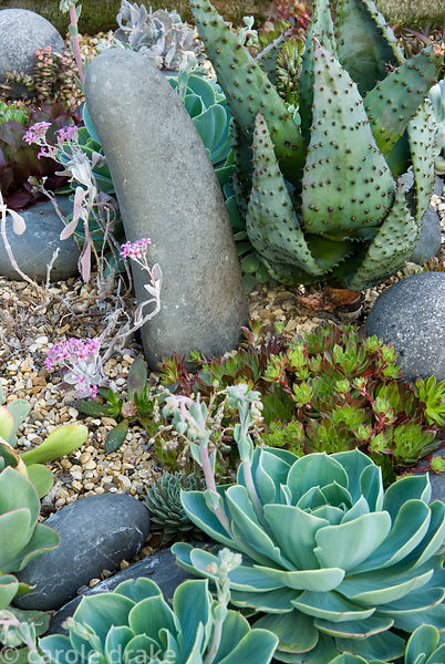 Raised bed of mixed succulents, hardy and tender, including echeverias, sempervivums and spikey Aloe ferox. 24 Bude Street, A...