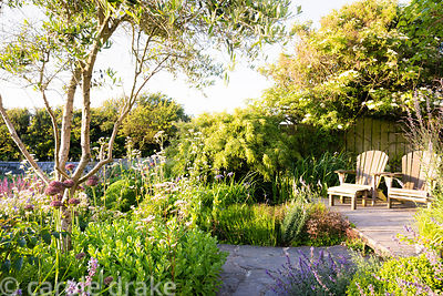Olive tree,  Olea europaea, surrounded by beds planted with a mix of herbaceous perennials including Allium 'Firmament', Vale...