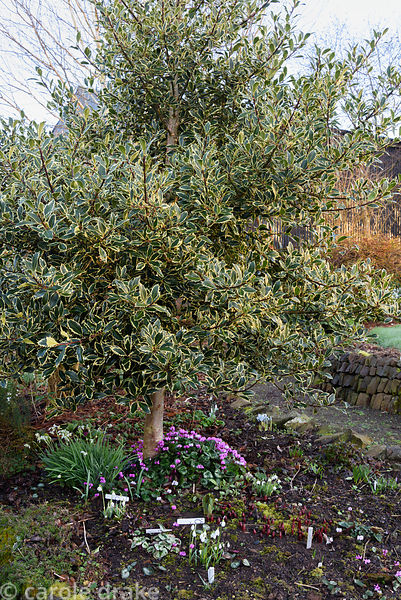 Standard variegated holly underplanted with snowdrops and cyclamen at Higher Cherubeer, Devon