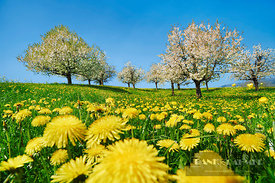Cherry plantation in bloom with dandelion (lat. prunus) - Europe, Switzerland, Aargau, Brugg, Zeihen - digital