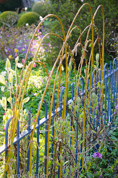Flexible cornus stems are attached to a fence and used as decorative supports for clematis. Barnsley House, Cirencester, Glos...