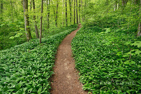 Hiking trail in beech forest with bear garlic - Europe, Germany, Baden-Württemberg, Stuttgart, Esslingen, Nürtingen, Aichtal-...