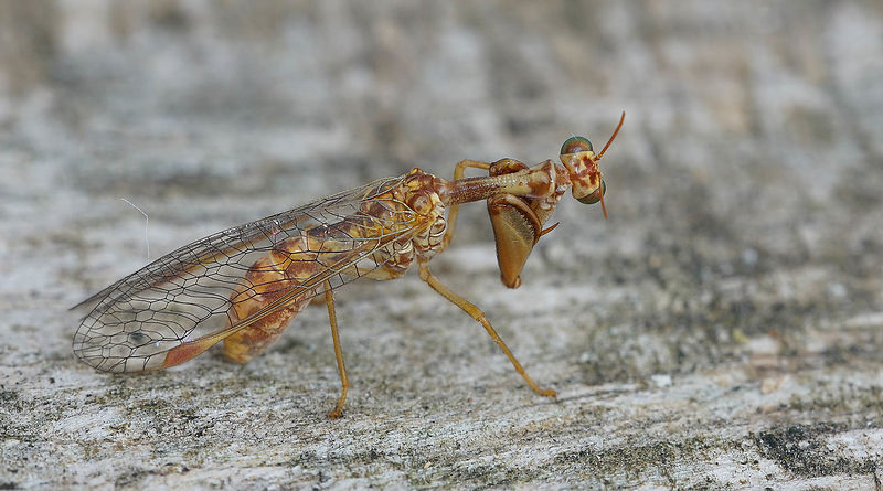 Mantispa species