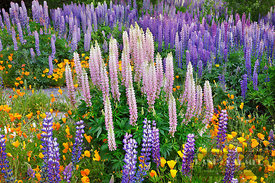 Flower meadow with lupines and poppies - Oceania, New Zealand, South Island, Canterbury, Mackenzie, Lake Tekapo, Lake Tekapo ...