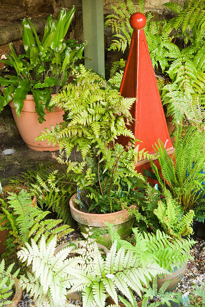 Part of Val's collection of ferns, displayed in the shade below the viewing platform, built into a corner of the garden. 24 B...