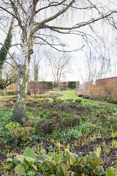 Winter garden with bed full of Helleborus orientalis hybrids, bergenia and snowdrops around a silver birch at Ellicar Gardens...