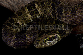 Speckled forest-pitviper (Bothrops taeniatus taeniatus)