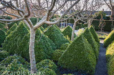 Four standard fig trees underplanted with box pyramids and black leaved Ophiopogon planiscapus 'Nigrescens' form the centrepi...