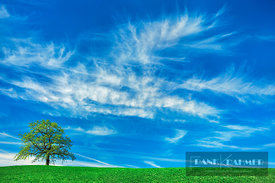 Oak and cirrus clouds (lat. quercus) - Europe, Germany, Bavaria, Upper Bavaria, Bad Tölz-Wolfratshausen, Münsing (Fünfseenlan...