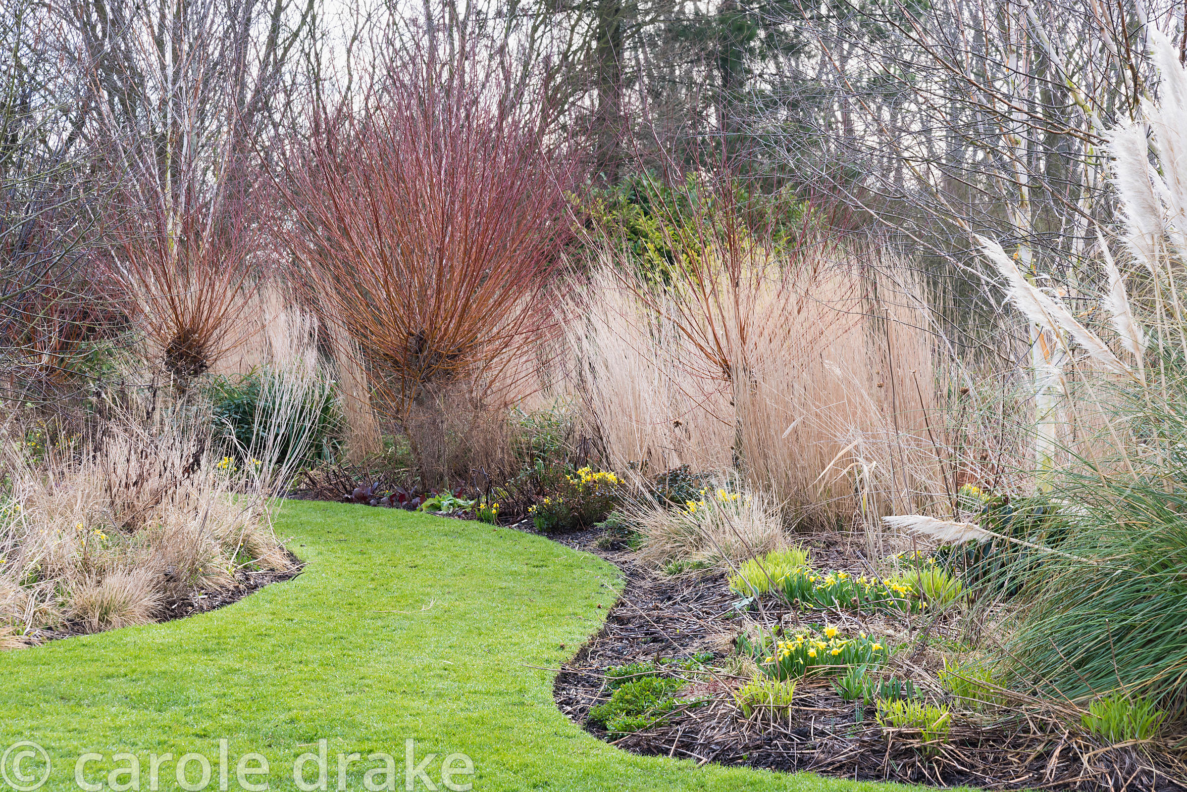 Border with Salix alba var. vitellina 'Britzensis', grasses and small early bulbs at Ellicar Gardens, Notts