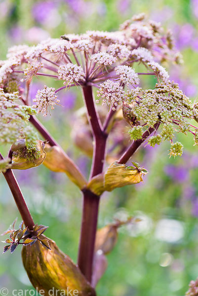 Angelica sylvestris in July
